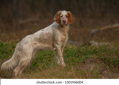 English setter. Pointing dog. Hunting dog. Portrait of an English setter on a real hunt.