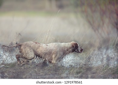 English setter. Pointing dog. On hunting with an English setter. The dog runs on water.