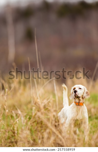 English Setter pointing a pheasant