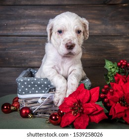 English setter puppy with poinsettia red flowers.