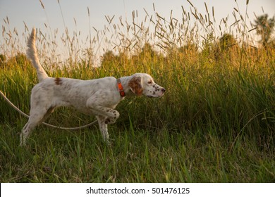 English Setter puppy in training; pointing a game bird