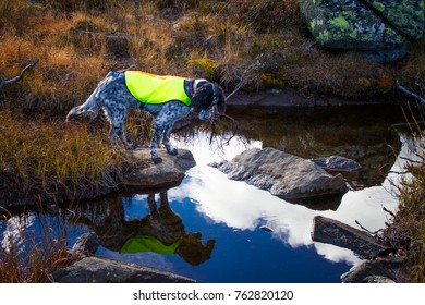 English setter stands on a rock by a small river and sees his own reflection in the water