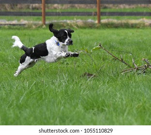 English Settter Mix Leaping Through Tall Grass