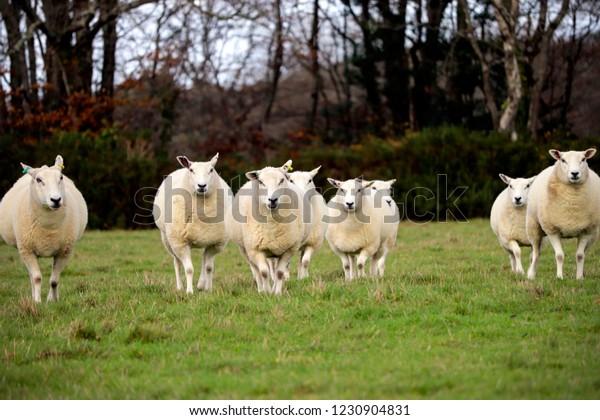 English sheep in field
