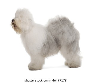 English Sheepdog, 1 year old, standing in front of white background