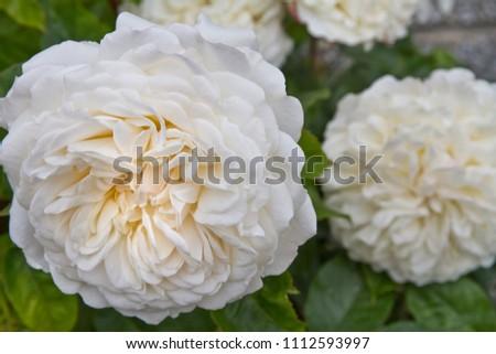 af14cd4de6c721 English Shrub Rose Tranquillity bred by David Austin. Large white rose