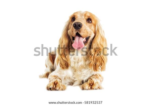 English Spaniel dog on a white background