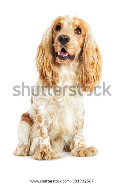 English Spaniel dog on a white background