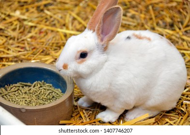 English spot rabbit on straw with food pellets in dish