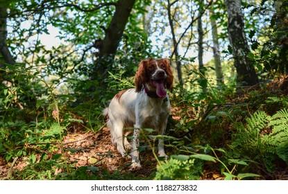 English Springer hunting
