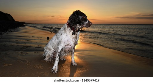 English Springer at the seaside sunset
