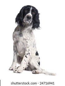 English Springer Spaniel (1 year) in front of a white background