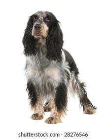 English Springer Spaniel (2 years old) in front of a white background