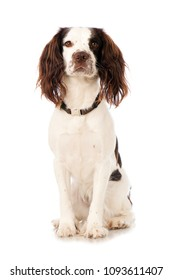 English springer spaniel with collar isolated on white background