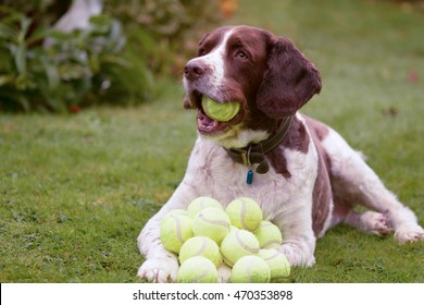 English Springer Spaniel dog with lots of tennis balls