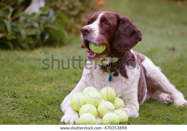 English Springer Spaniel dog with lots of tennis balls