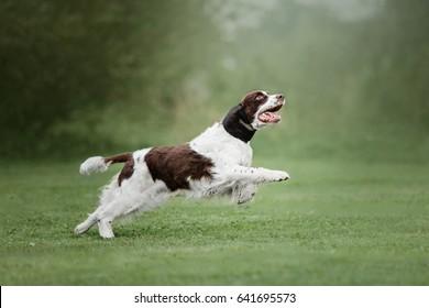 English Springer Spaniel dog running on green grass