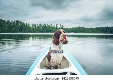 English Springer Spaniel dog sitting in canoe on a lake. Storm clouds.