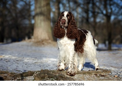 English Springer Spaniel dog standing on a rock in the park