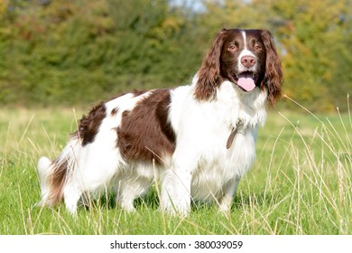 English springer spaniel dog standing in field