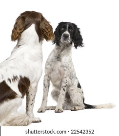 English Springer Spaniel face to face  in front of a white background