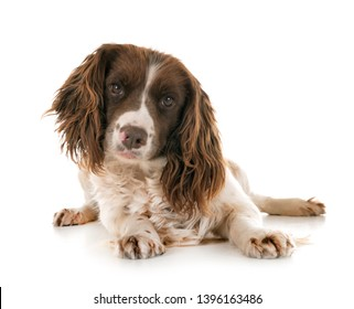 English Springer Spaniel in front of white background