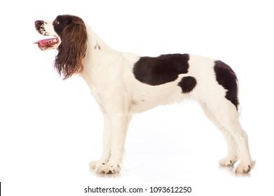 English springer spaniel isolated on white background