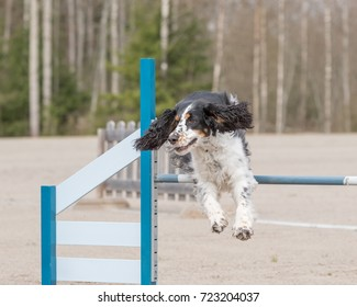English Springer Spaniel jumps over an agility obstacle in agility competition
