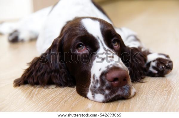 English Springer Spaniel Puppy Dog Lying Stock Photo (Edit