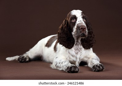 English springer spaniel puppy lying on a brown background