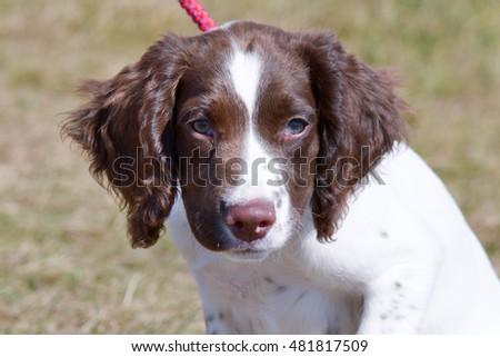 Coloriage Chien Springer.Photo De Stock De English Springer Spaniel Puppy Portrait Modifier