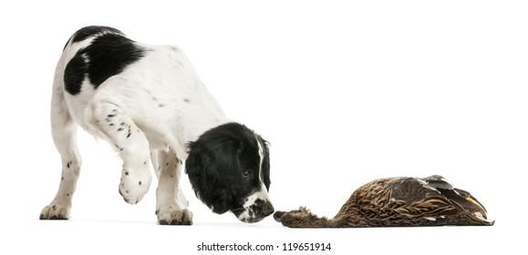 English Springer Spaniel sniffing dead duck against white background