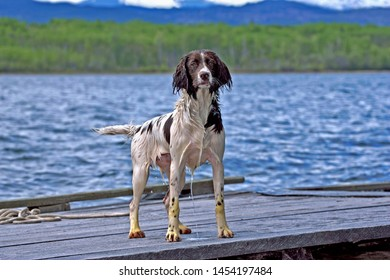 English Springer Spaniel standing at wharf after swimming in the lake.