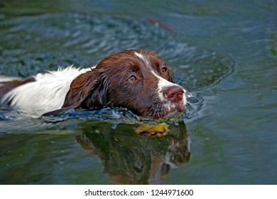 English Springer Spaniel swimming in lake, head  close up