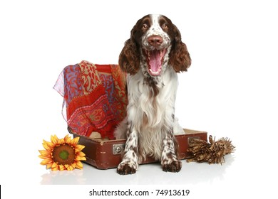 English Springer Spaniel yawns near an old suitcase on a white background