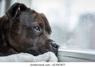 English Staffordshire Bull Terrier is laying in the windowsill watching outside during a rainy day.