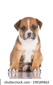 english staffordshire bull terrier puppy
