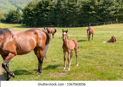 English Thoroughbred foal horse on the field.