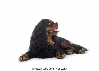 English Toy Spaniel laying down, looking sidewards and sticking his tongue out