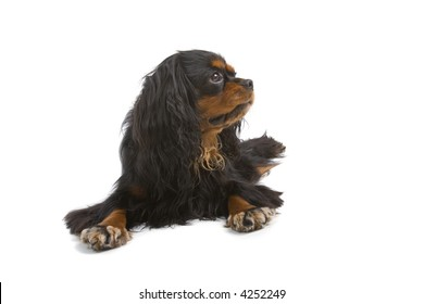 English Toy Spaniel laying down and looking sidewards
