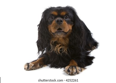 English Toy Spaniel laying down and looking into the camera