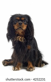 English Toy Spaniel sitting down facing the camera