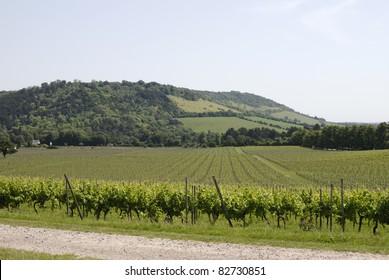 English vineyard at foot of Box Hill on the North Downs. Dorking. Surrey. England