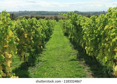 An English vineyard in summer