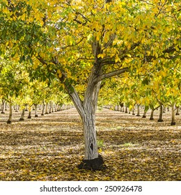English walnut, Juglans regia, orchard in the early autumn fall colors, northern California