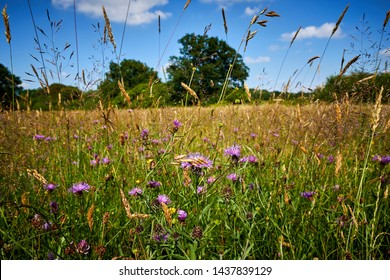 English wildflower meadows at the height of their summer bloom