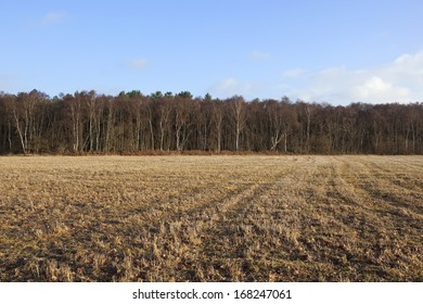 english winter landscape with birch trees and stubble under a blue sky