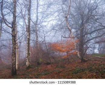 An English woodland in mist, Herefordshire, UK