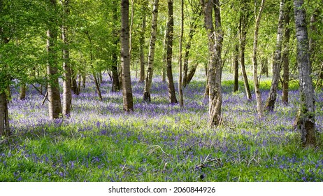 English woodland scene in spring sunshine with fresh new leaves and indigenous bluebells carpeting the floor.