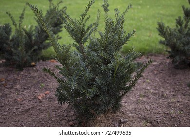 The english yew bushes in the park